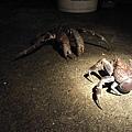 椰子蟹公母大作戰