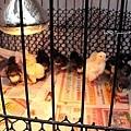 剛孵出沒幾天的小雞_生蛋雞+土雞