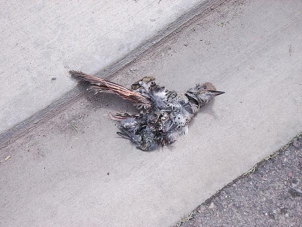 the poor pigeon