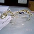 034 Mouse skeleton