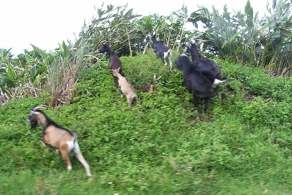 路邊奔跑的羊群