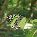 這兒的蝴蝶比動物園的蝴蝶館多