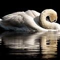 swan-3466606__340.jpg