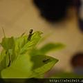 烏鴉鳳蝶Group-鳥糞幼蟲-002.JPG
