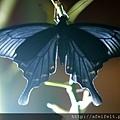 烏鴉鳳蝶-022.JPG