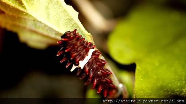 紅紋鳳蝶-幼蟲-004.JPG