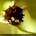紅紋鳳蝶-幼蟲-臭角-005.JPG