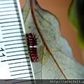 紅紋鳳蝶-尺標-幼蟲-001.JPG