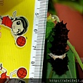 紅紋鳳蝶-尺標-幼蟲-003.JPG