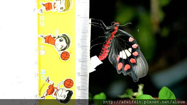 紅紋鳳蝶-尺標-001.JPG