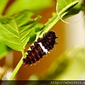 紅紋鳳蝶-前蛹-018.JPG