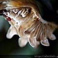 紅紋鳳蝶-蛹002.JPG