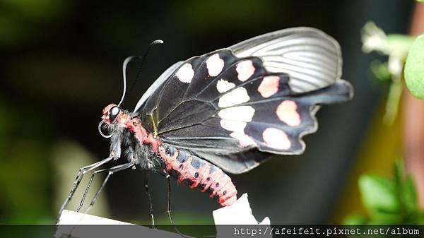 紅紋鳳蝶-羽化-晾乾翅膀-017.JPG