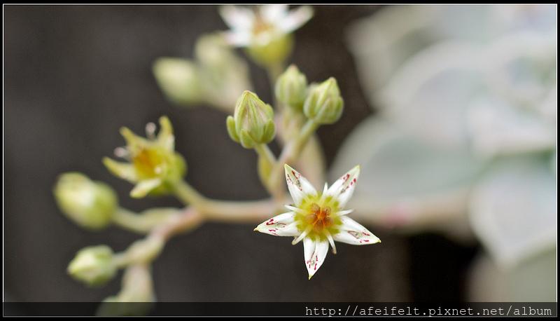 石蓮花 - P4156588 (1)