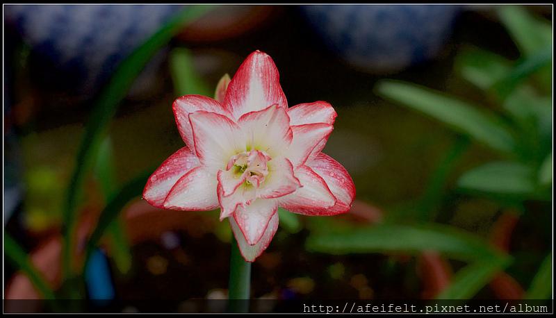 孤挺 - 13 - Blossom Peacock千禧、花孔雀 - P1240424 (1)