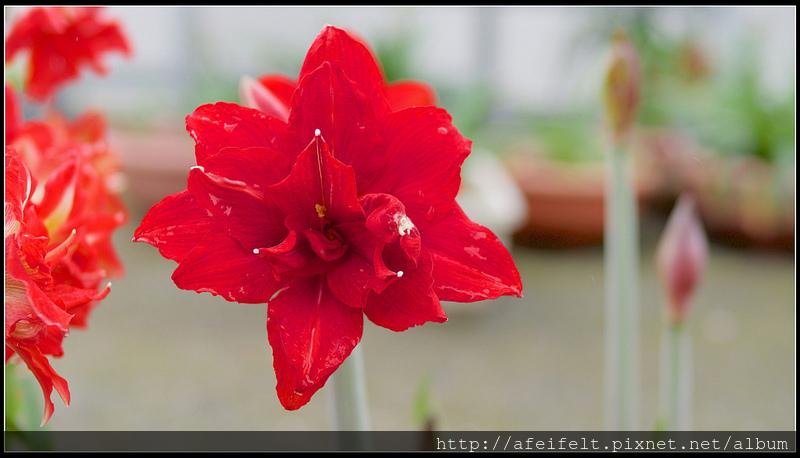孤挺 - 14 - Red Peacock紅孔雀 - P4126549 (1)