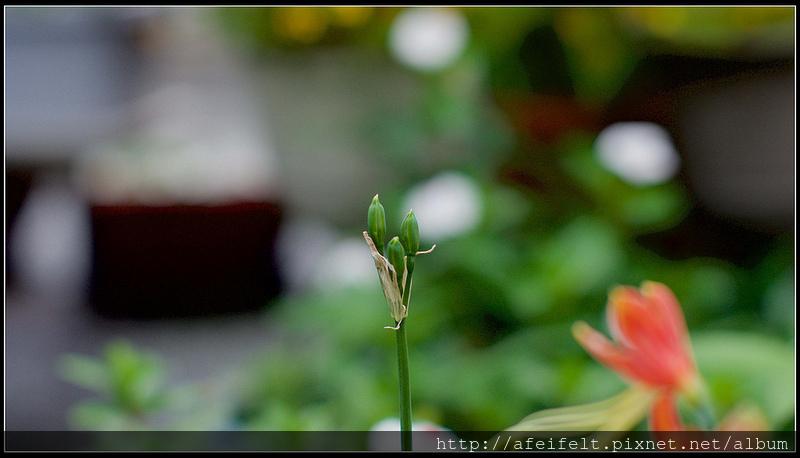 龍鬚石蒜 - P1240567 (1)