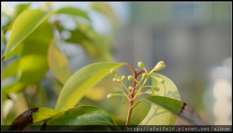 陰香 - P4046512 (1)