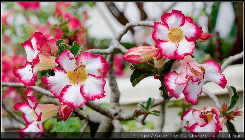 沙漠玫瑰-P5186695 (1)