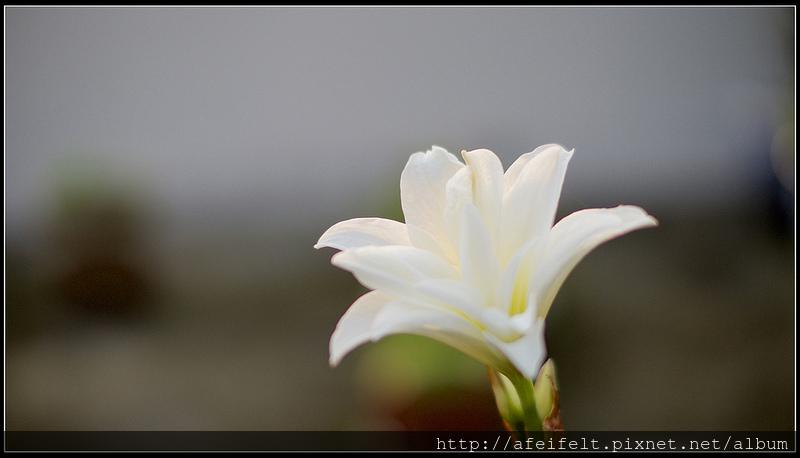 孤挺 - 03 - Jewel寶兒 - P3300963 (1)