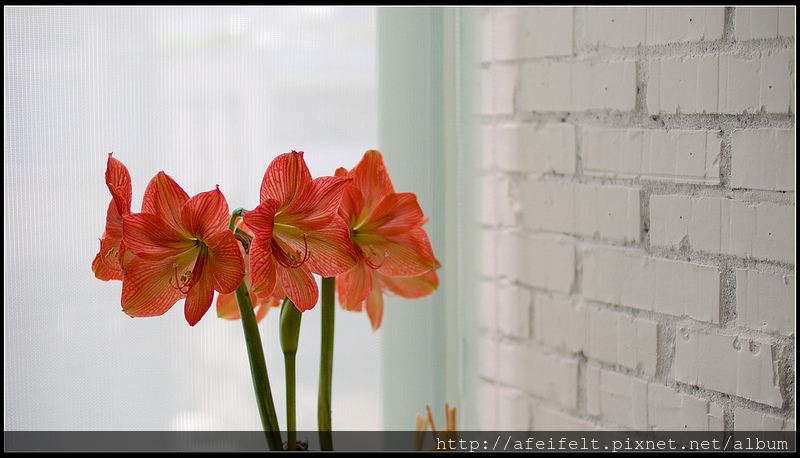 孤挺 - 04 - OrangeNet橘網紋 - P4061247 (1)