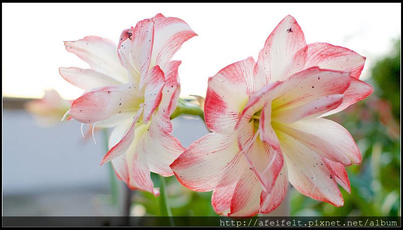 孤挺 - 24 - Blossom Peacock千禧、花孔雀-P4191588 (1)