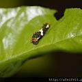 無尾鳳蝶-幼蟲-二齡-004.JPG