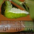 烏鴉鳳蝶-幼蟲尺標-007.JPG