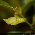 烏鴉鳳蝶-蛹-003.JPG