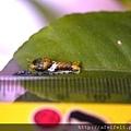 烏鴉鳳蝶-幼蟲尺標-003.JPG