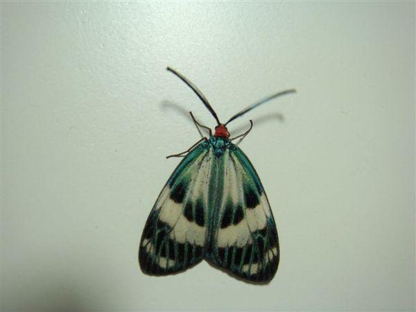 光輝螢斑蛾.JPG