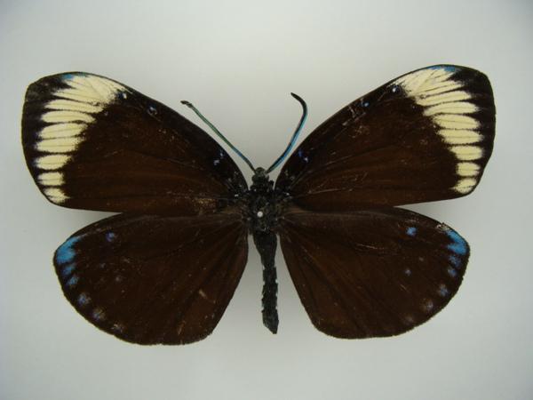 Amesia apoensis.jpg