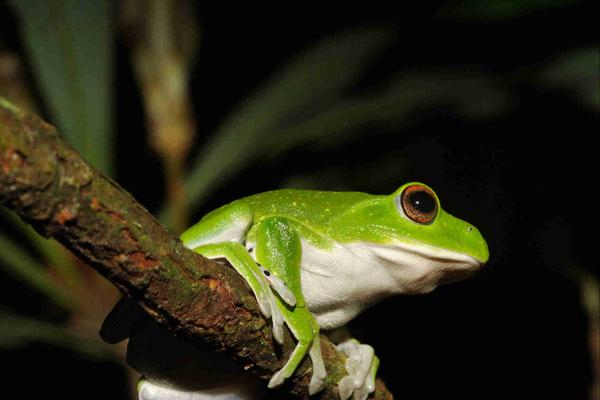 莫氏樹蛙.jpg