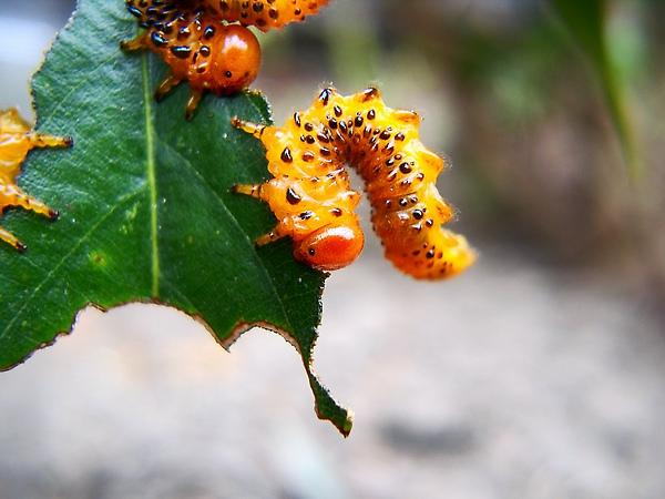 葉蜂-三斗石櫟.jpg