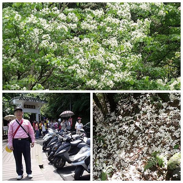 2012年土城桐花公園(b).jpg