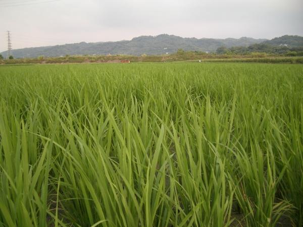 廟旁邊是整片稻田