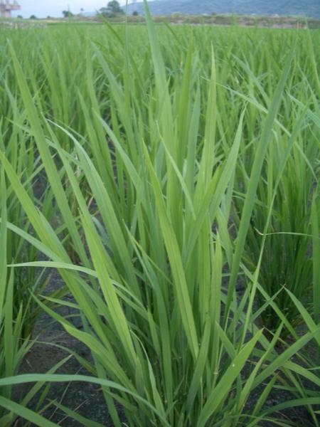 要長成好吃的稻米唷!