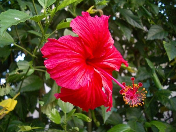 夏末,赤豔的扶桑花
