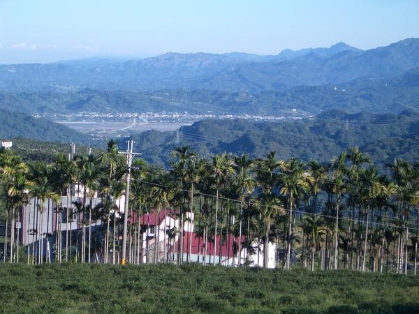 南投名產-檳榔樹