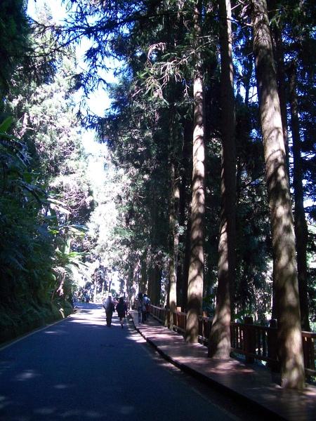 參天杉木林