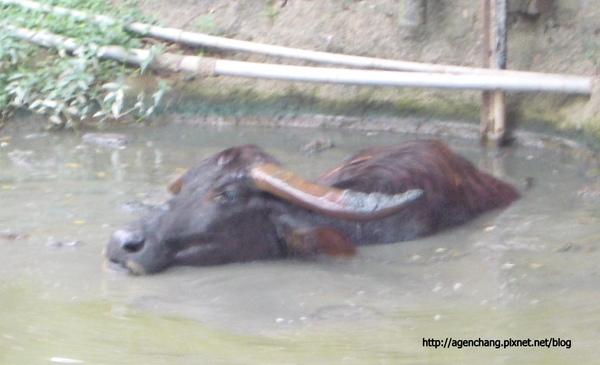 作SPA的水牛