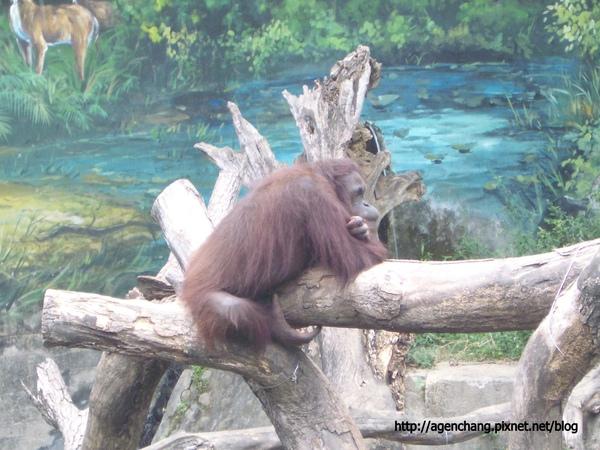 孤單的紅猩猩