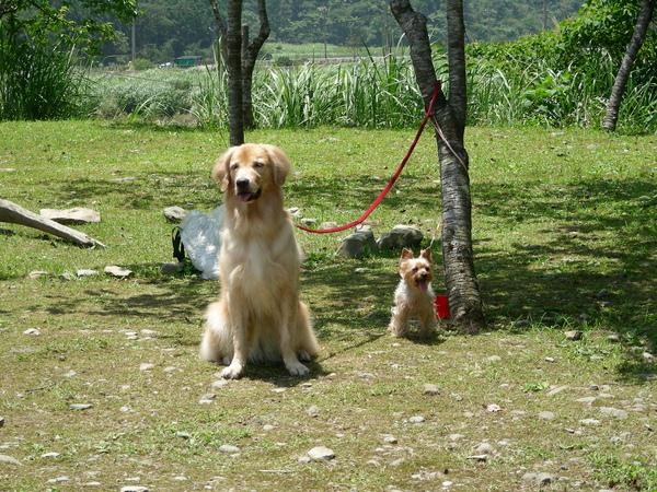 室內不能帶狗,只好委屈Summer和荳荳在樹下等