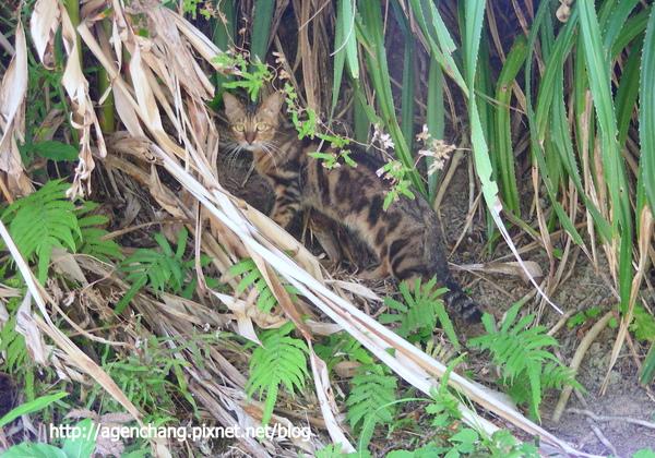 這是野貓還是石虎?