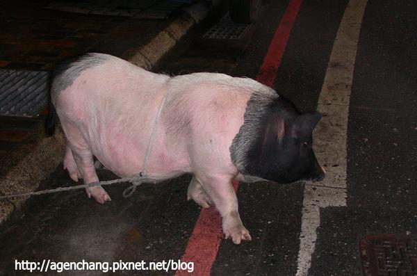 路邊的迷你豬