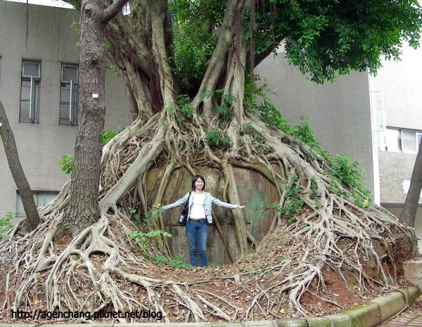 盤根錯節的大樹