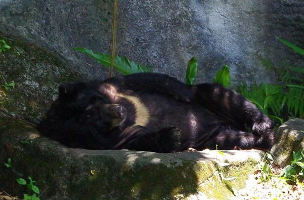 台灣黑熊睡姿