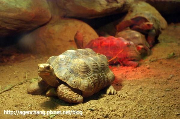 可愛的陸龜