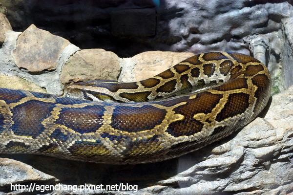 難怪那麼多貴婦愛蛇皮