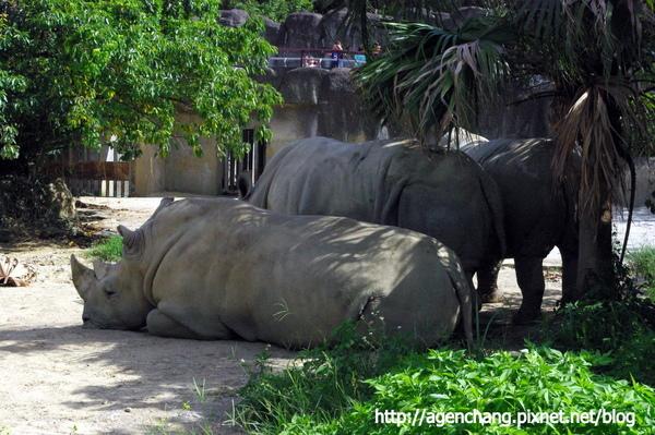 成群的白犀牛